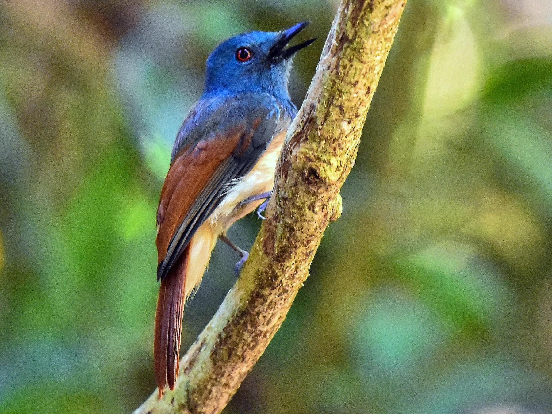 Rufous-winged Philentoma - Piyapong Chotipuntu