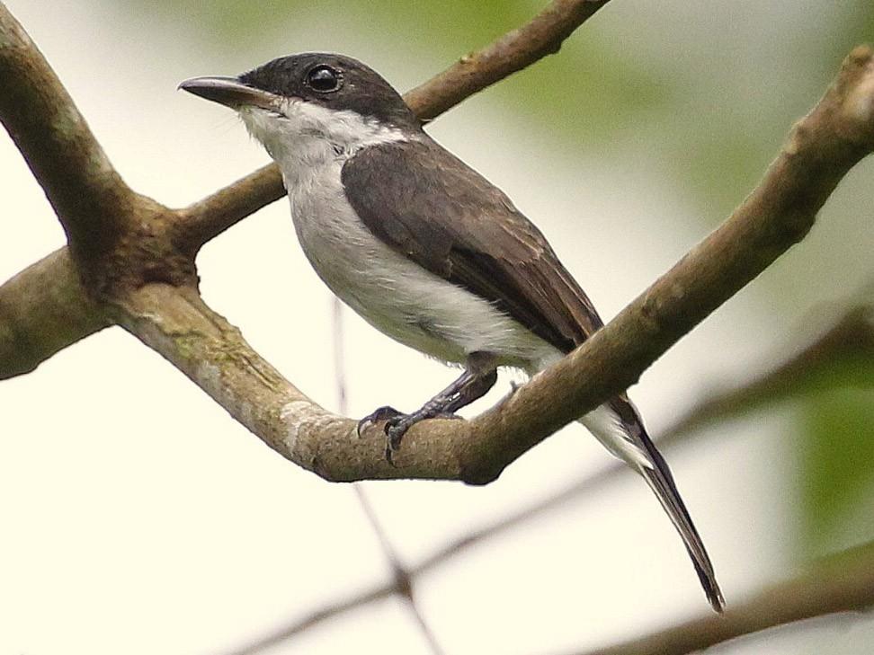 Black-winged Flycatcher-shrike - Carmelo López Abad
