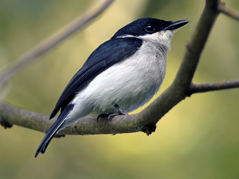 Black-winged Flycatcher-shrike - Lars Petersson