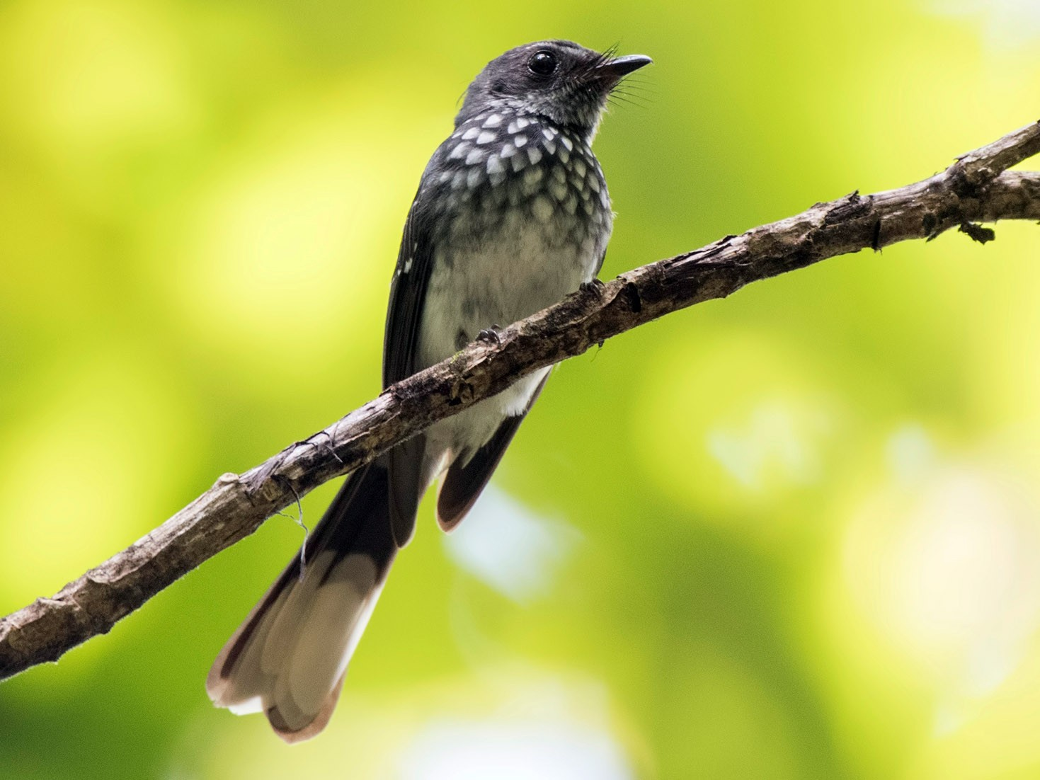 Spotted Fantail - Wai Loon Wong