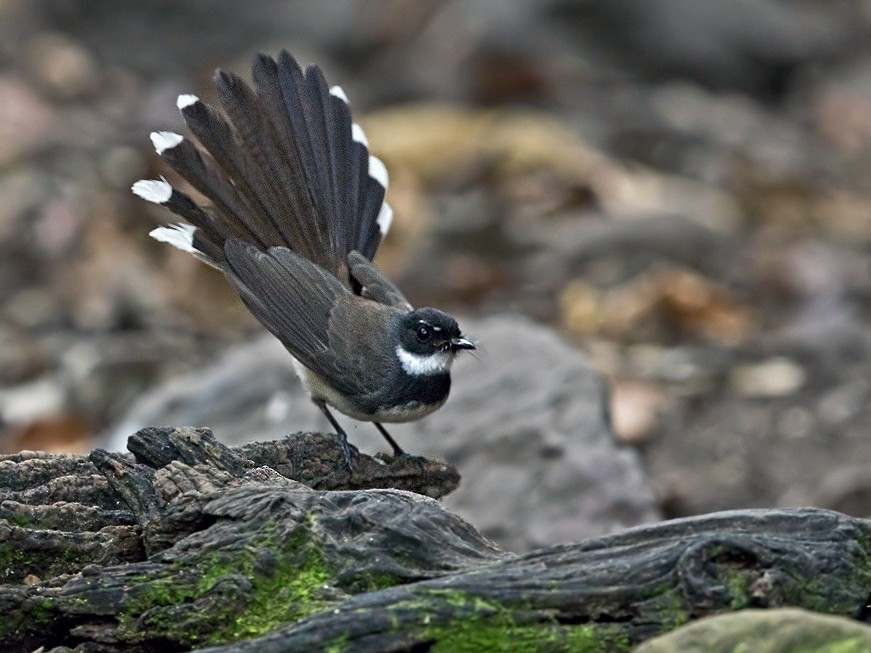 Malaysian Pied-Fantail - Lars Petersson