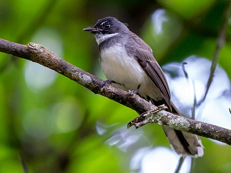 Malaysian Pied-Fantail - David and Kathy  Cook