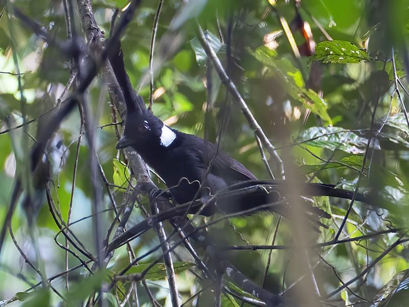 Crested Shrikejay - liewwk birdtourmalaysia