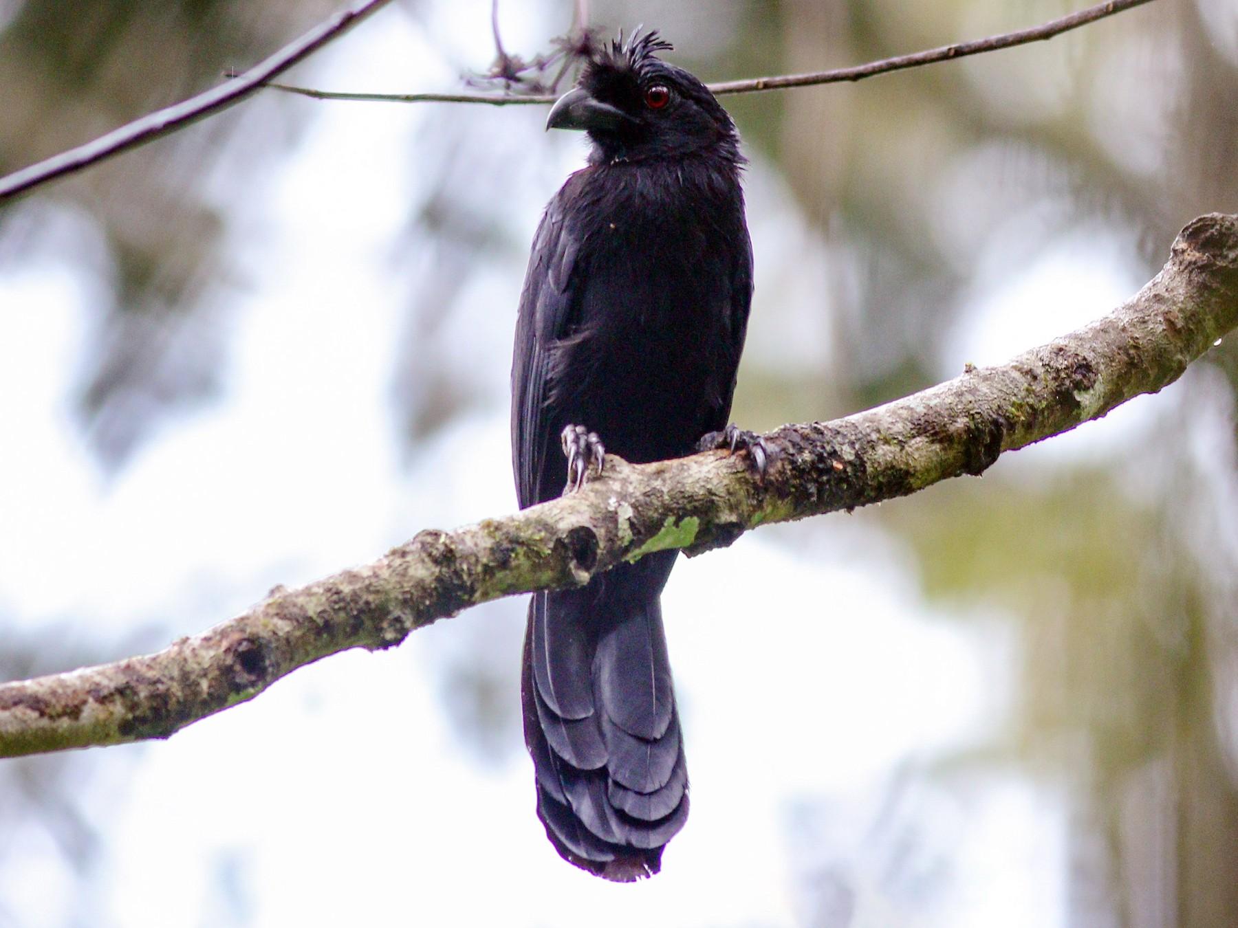Black Magpie - Wilbur Goh Soon Kit