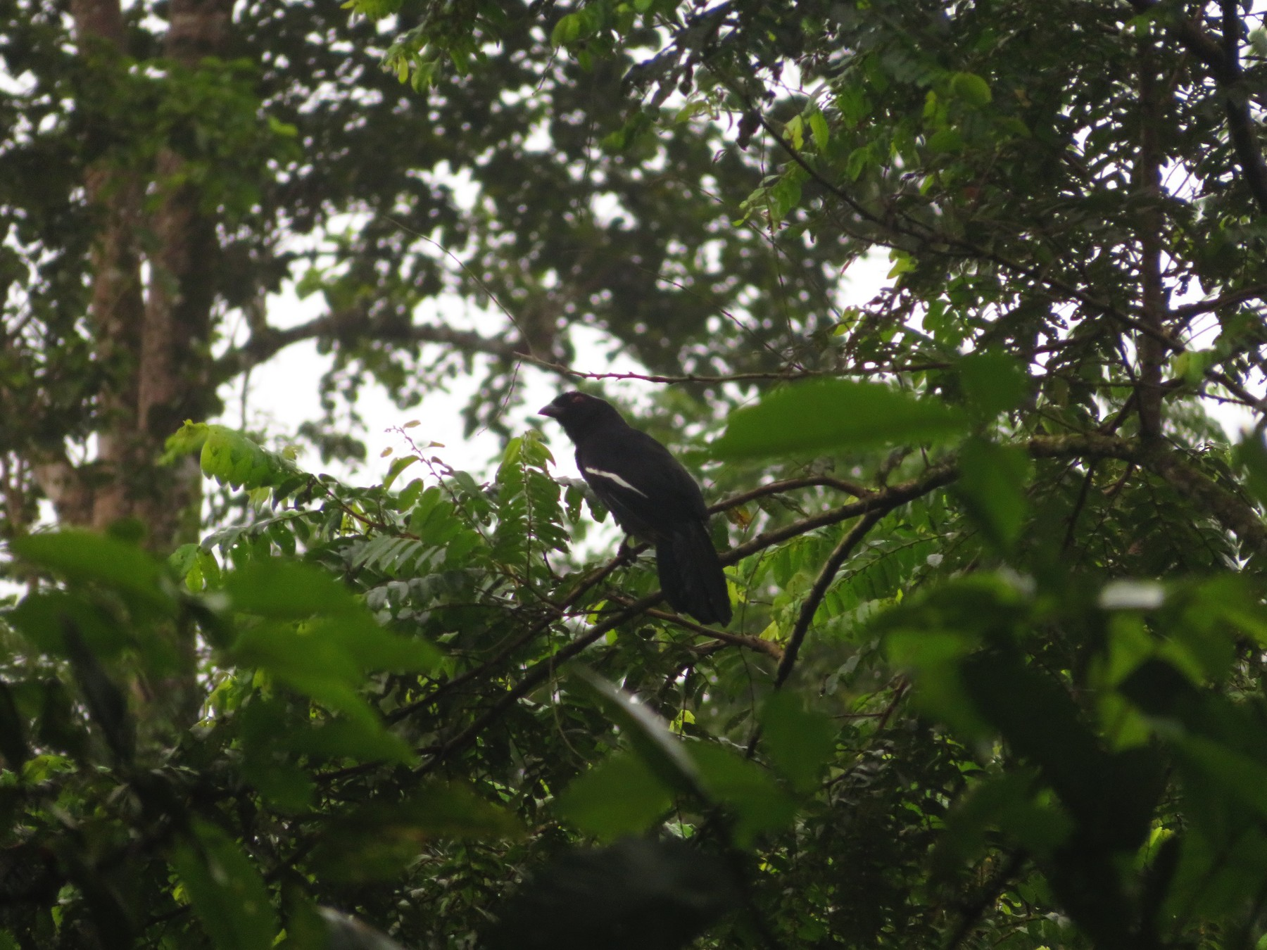 Black Magpie - Jesse Golden