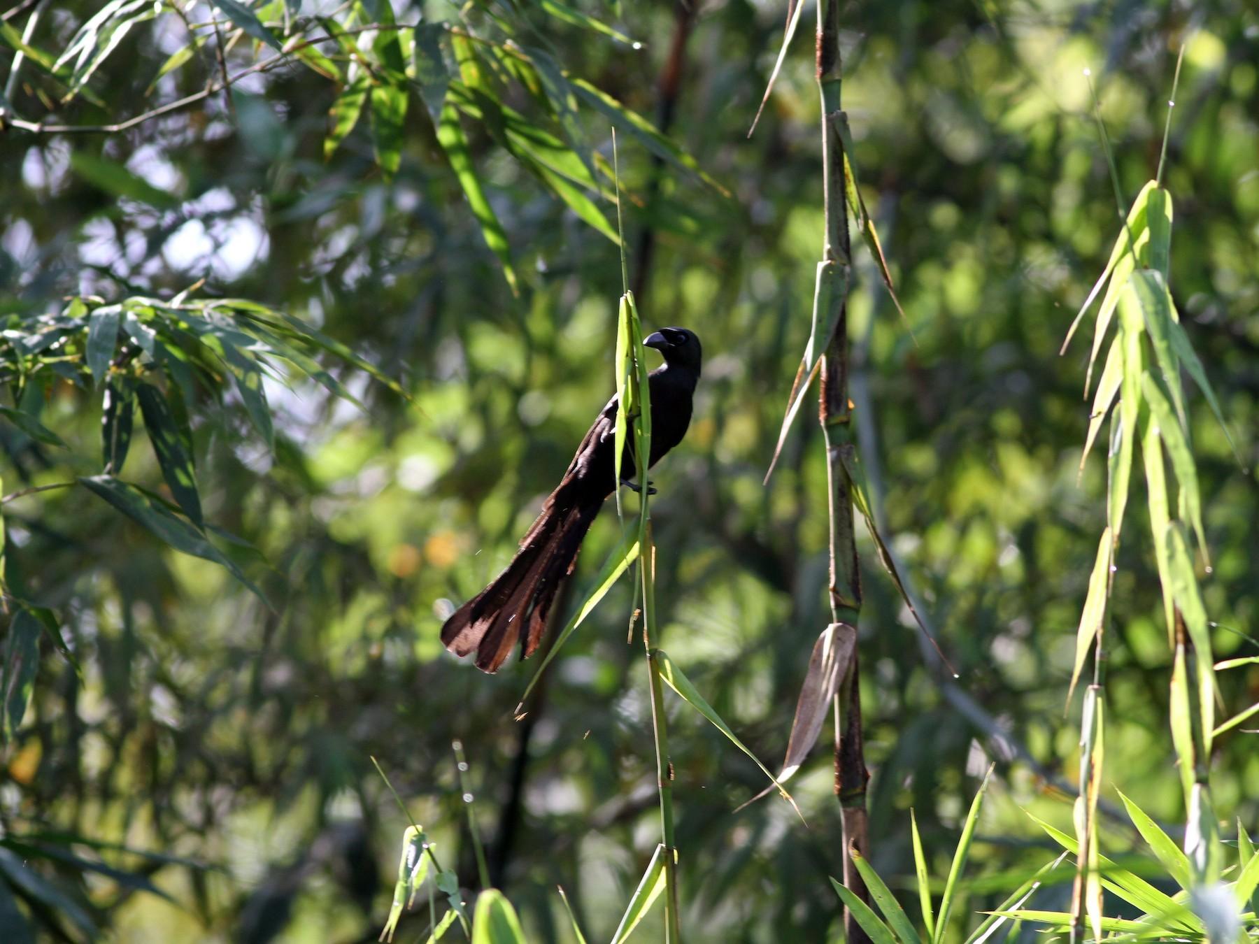 Racket-tailed Treepie - Chris Wiley