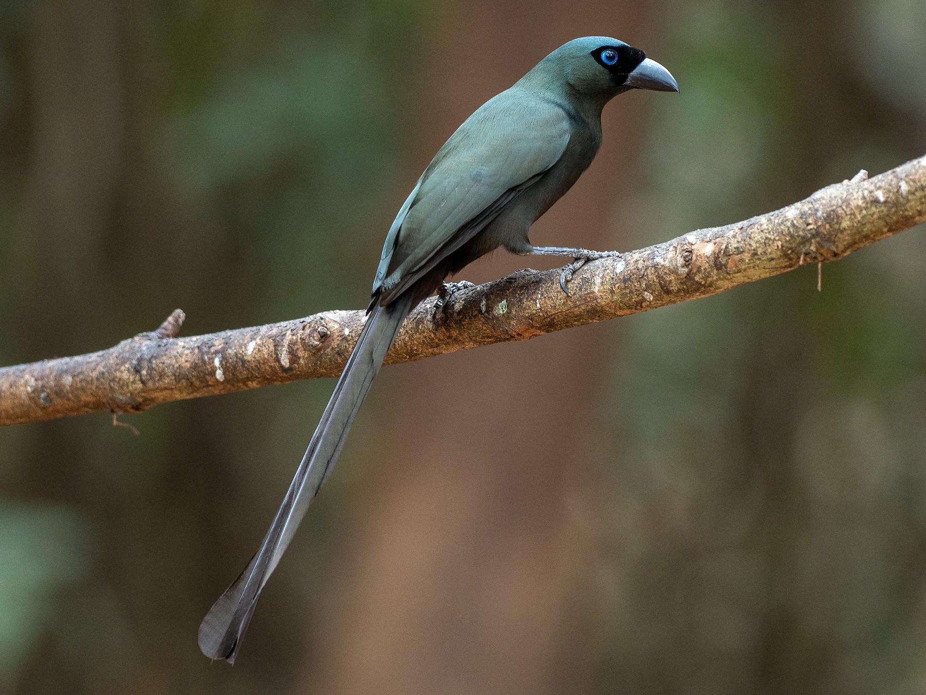 Racket-tailed Treepie - Mollee Brown