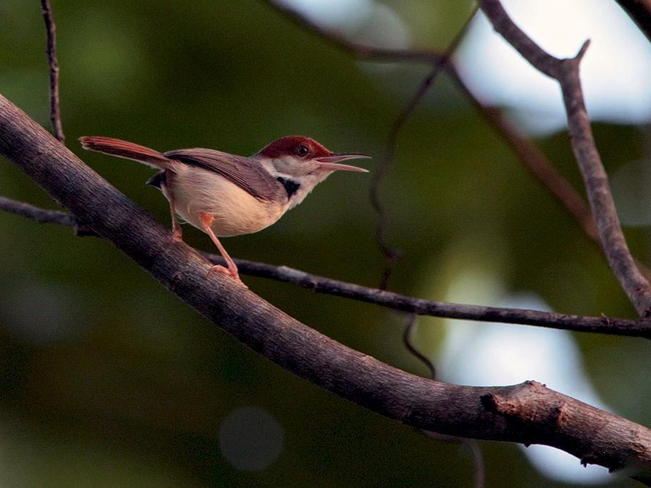 Rufous-tailed Tailorbird - Lasse Olsson