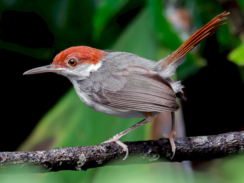 Rufous-tailed Tailorbird - Natthaphat Chotjuckdikul