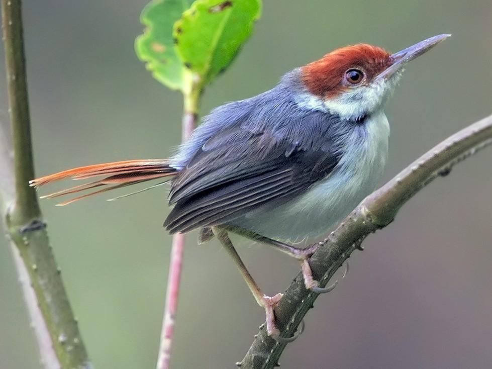 Rufous-tailed Tailorbird - Marco Valentini