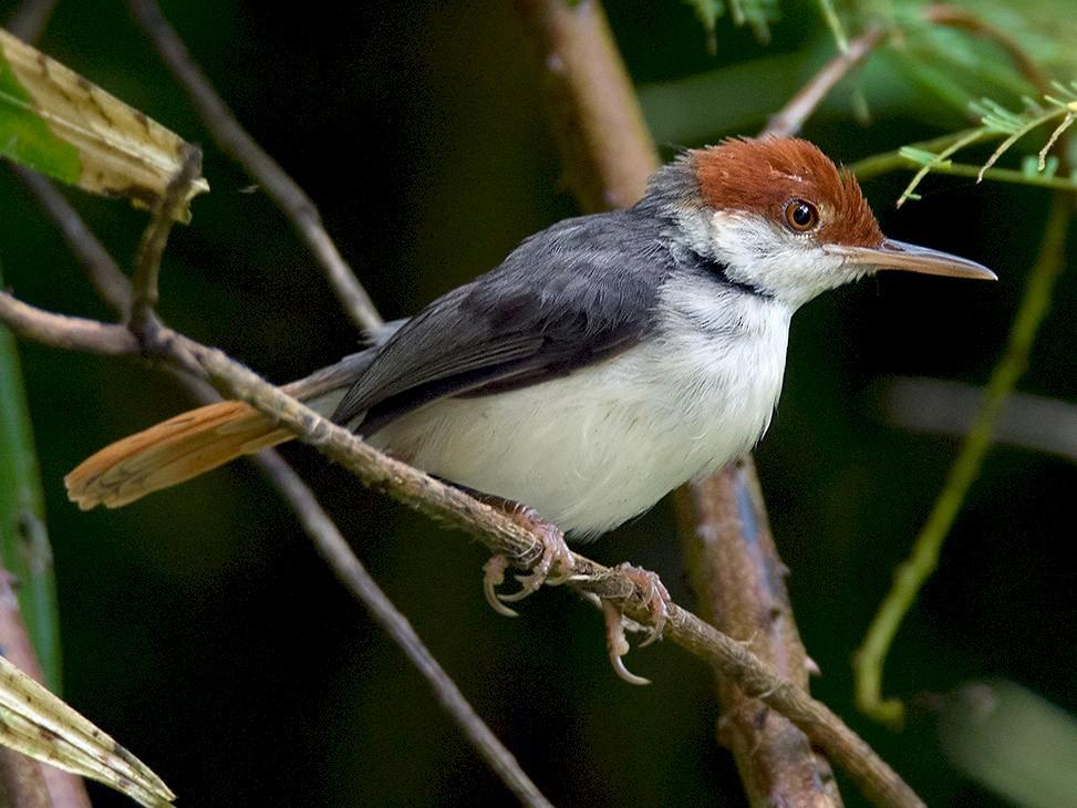 Rufous-tailed Tailorbird - Ayuwat Jearwattanakanok
