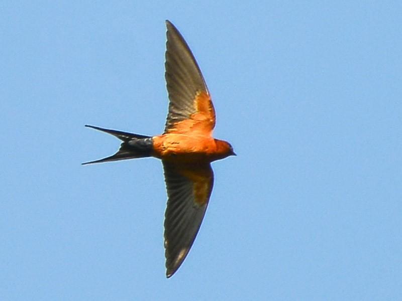 Rufous-bellied Swallow - Harn Sheng Khor