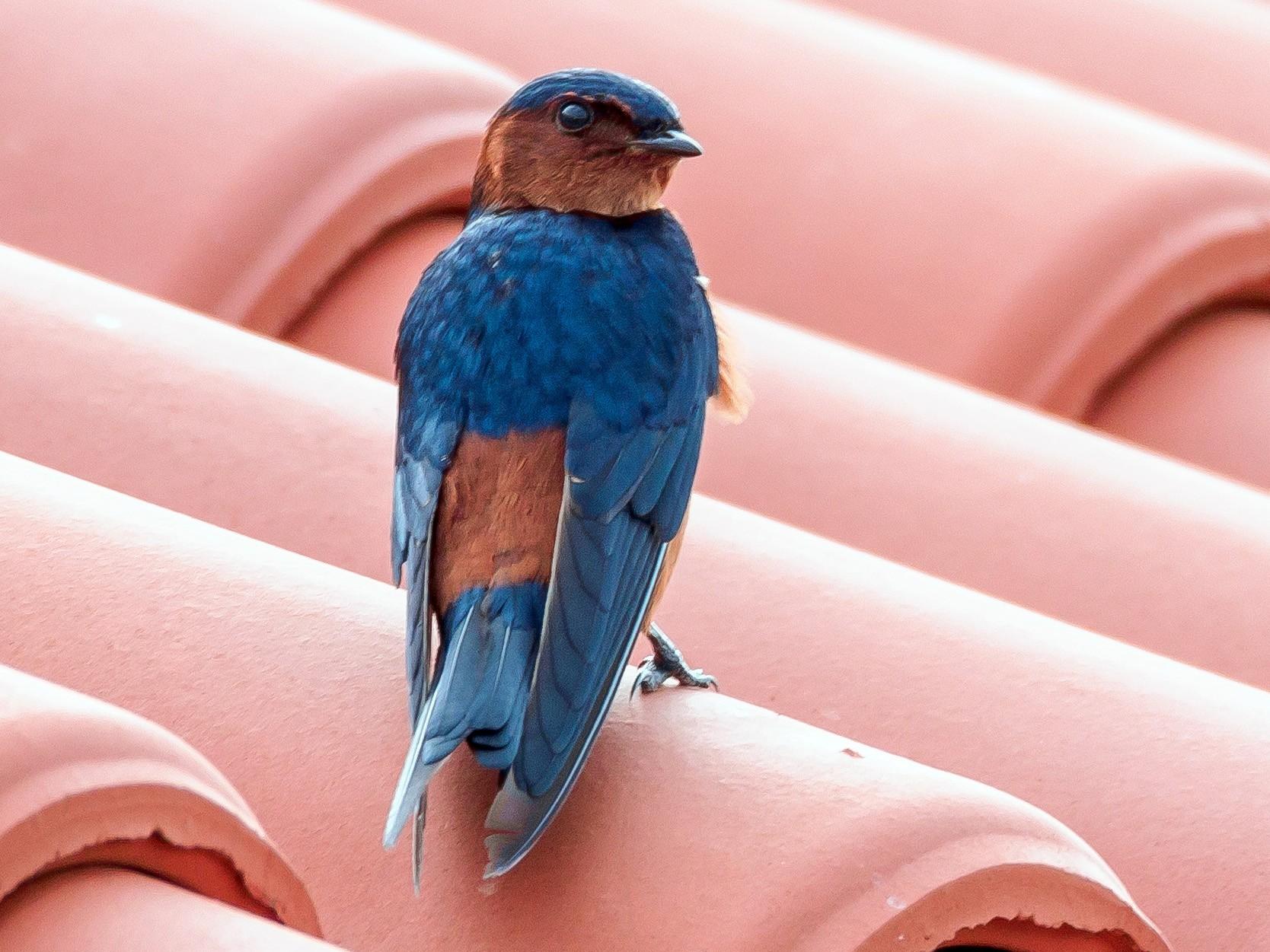 Rufous-bellied Swallow - Karyne Wee