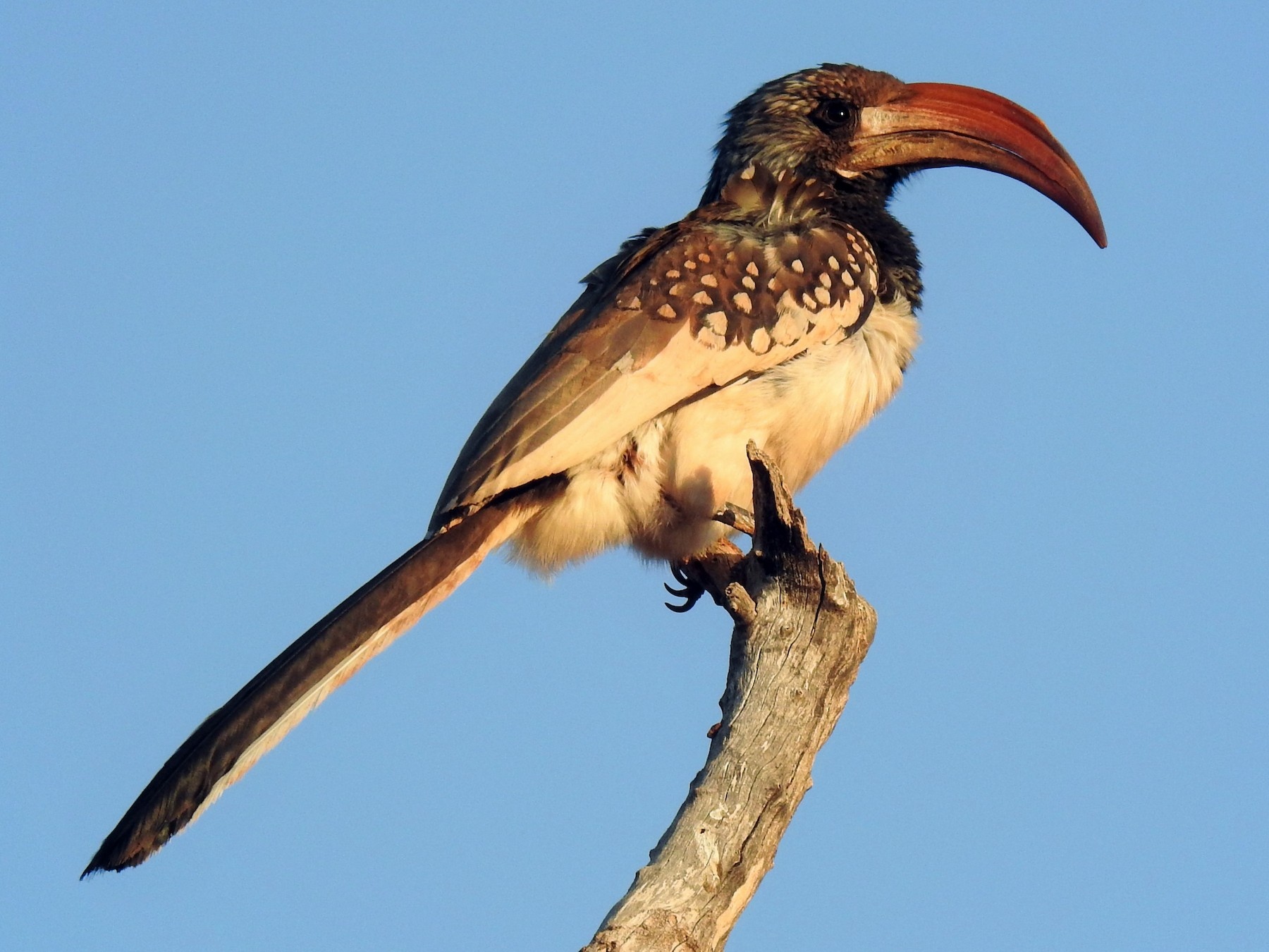Monteiro's Hornbill - Stephen Taylor