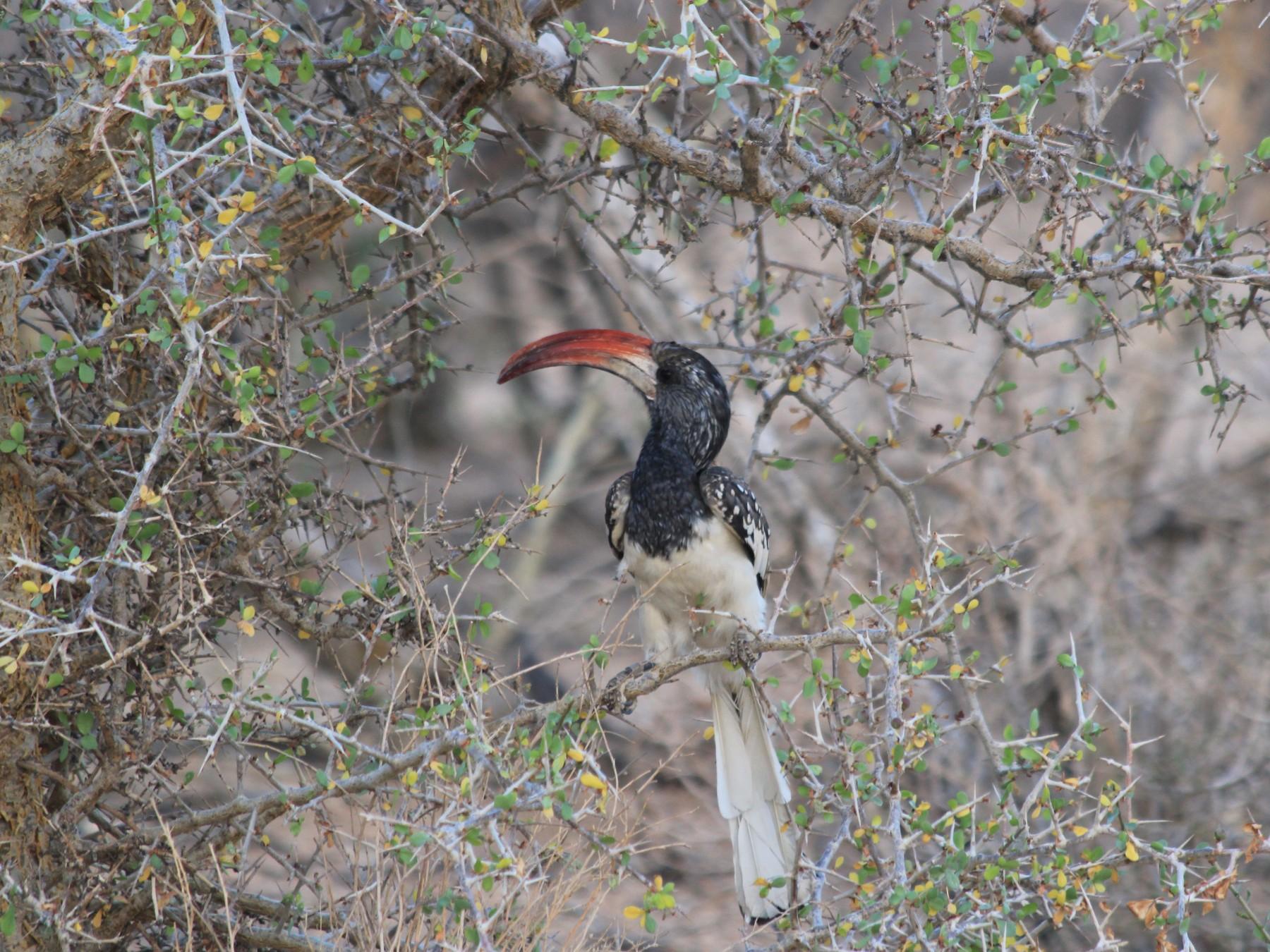 Monteiro's Hornbill - guillaume cussonneau