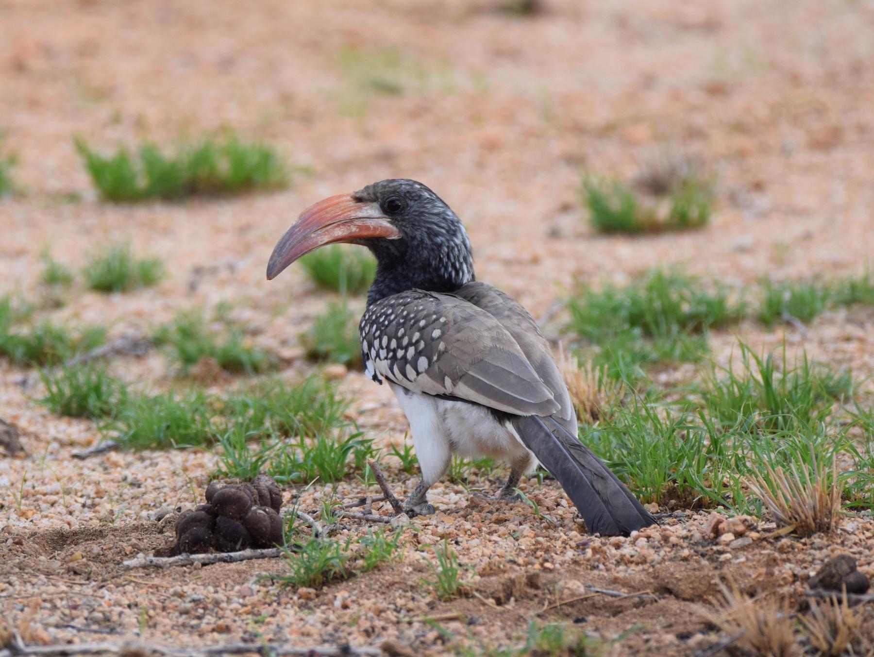 Monteiro's Hornbill - Ryne Rutherford