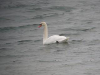 Mute Swan, ML222566471