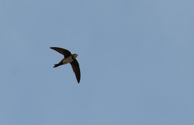 © Ricard Gutiérrez - Alpine Swift