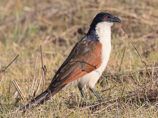 - Coppery-tailed Coucal