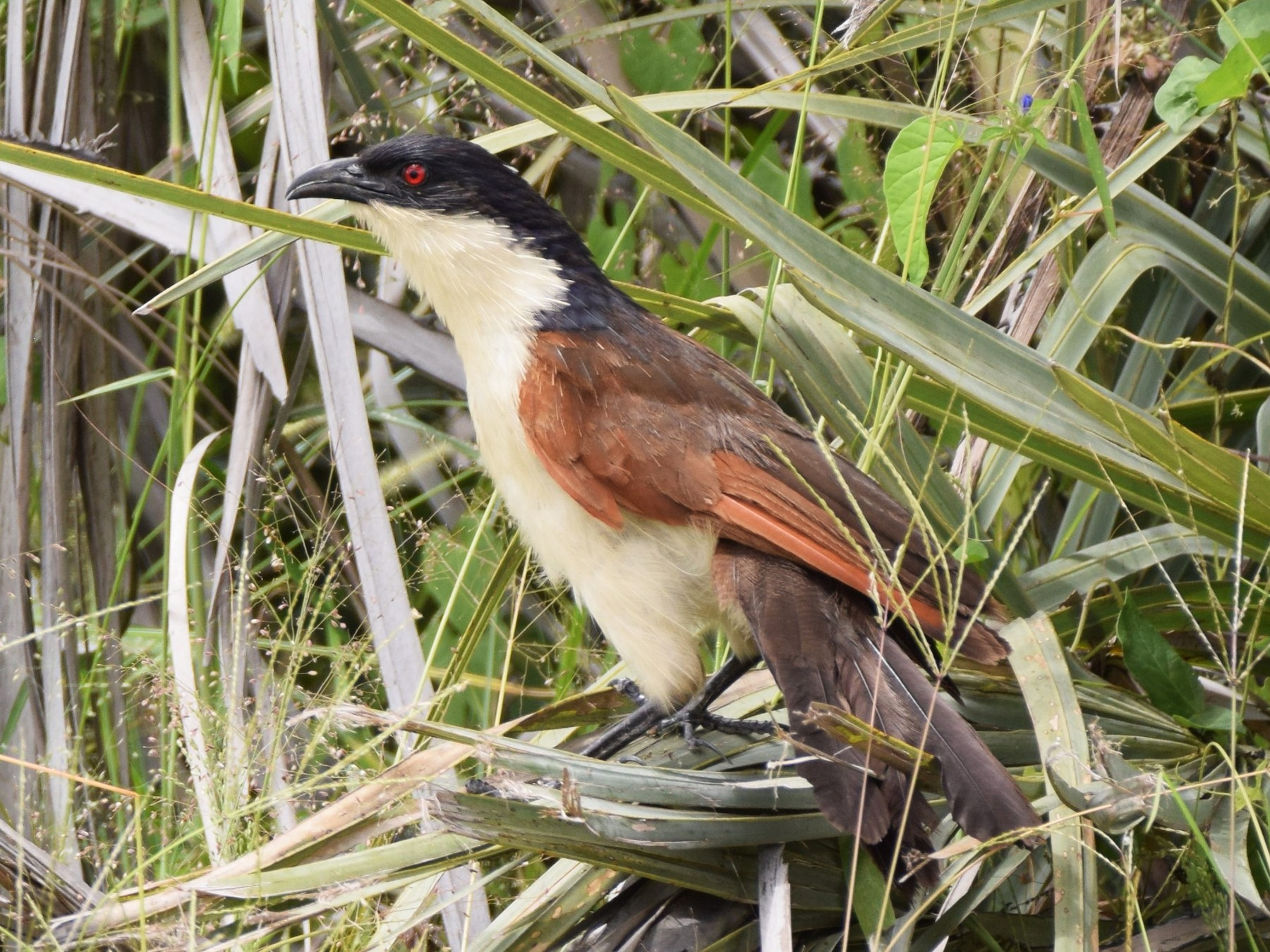 Coppery-tailed Coucal - Ryne Rutherford