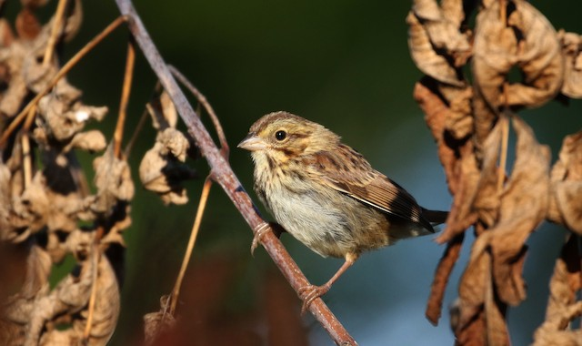 Song Sparrow (melodia/atlantica)