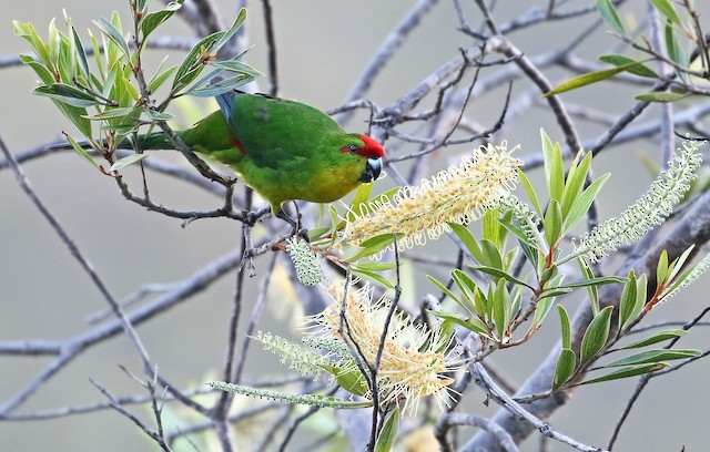 ©Andrew Spencer - New Caledonian Parakeet
