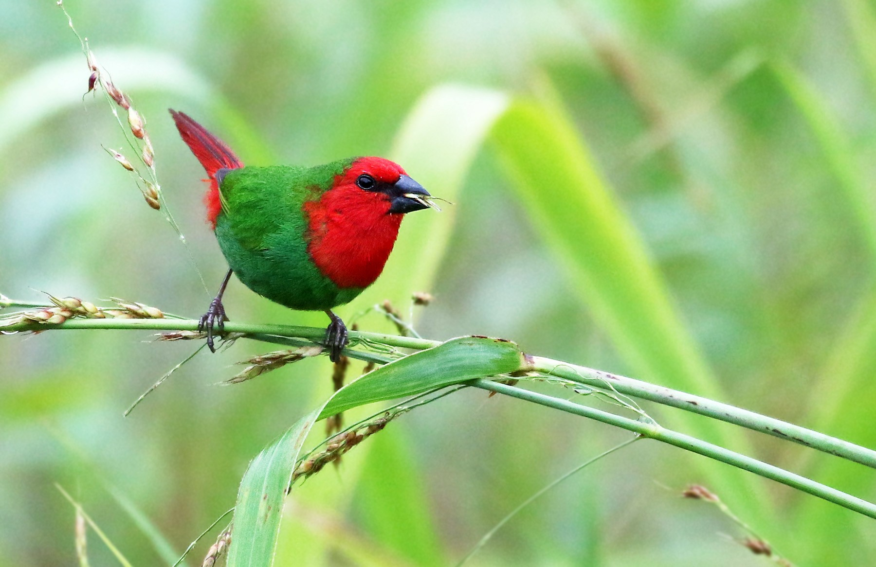 Red-throated Parrotfinch - Andrew Spencer