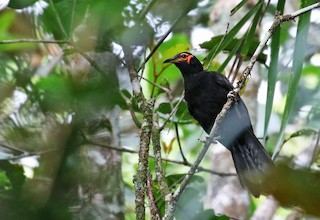 - Crow Honeyeater