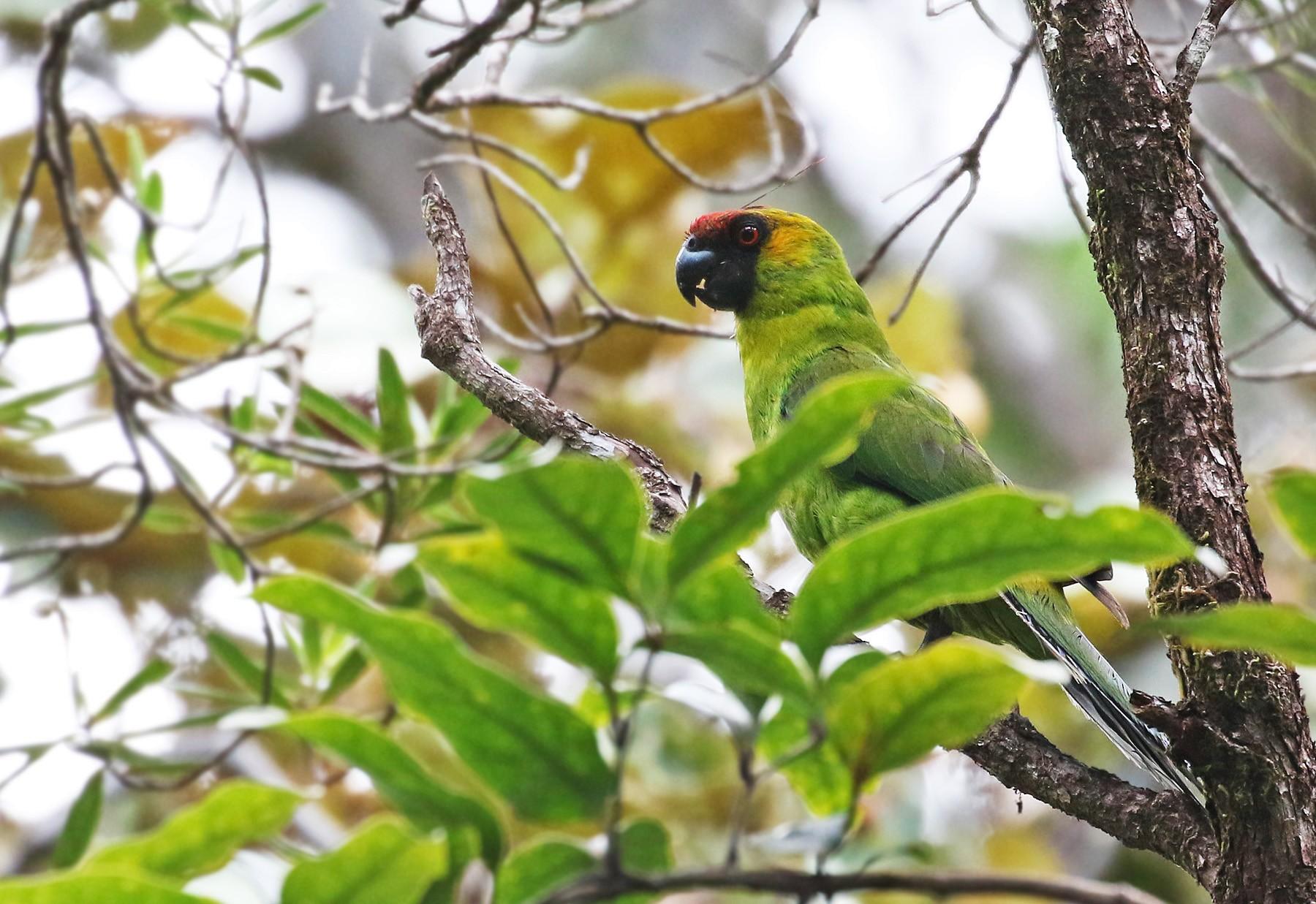 Horned Parakeet - Andrew Spencer