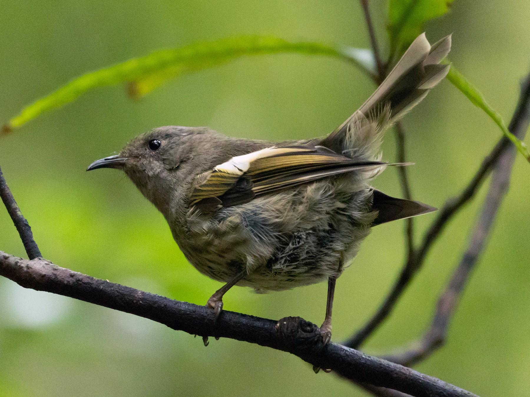 Stitchbird - Louis Bevier