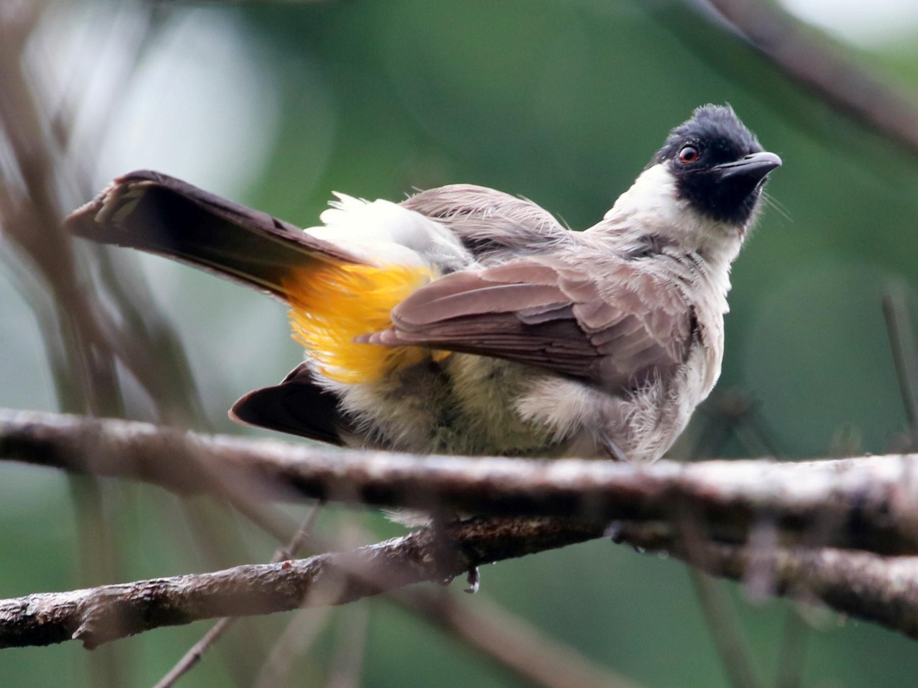 Sooty Headed Bulbul Ebird