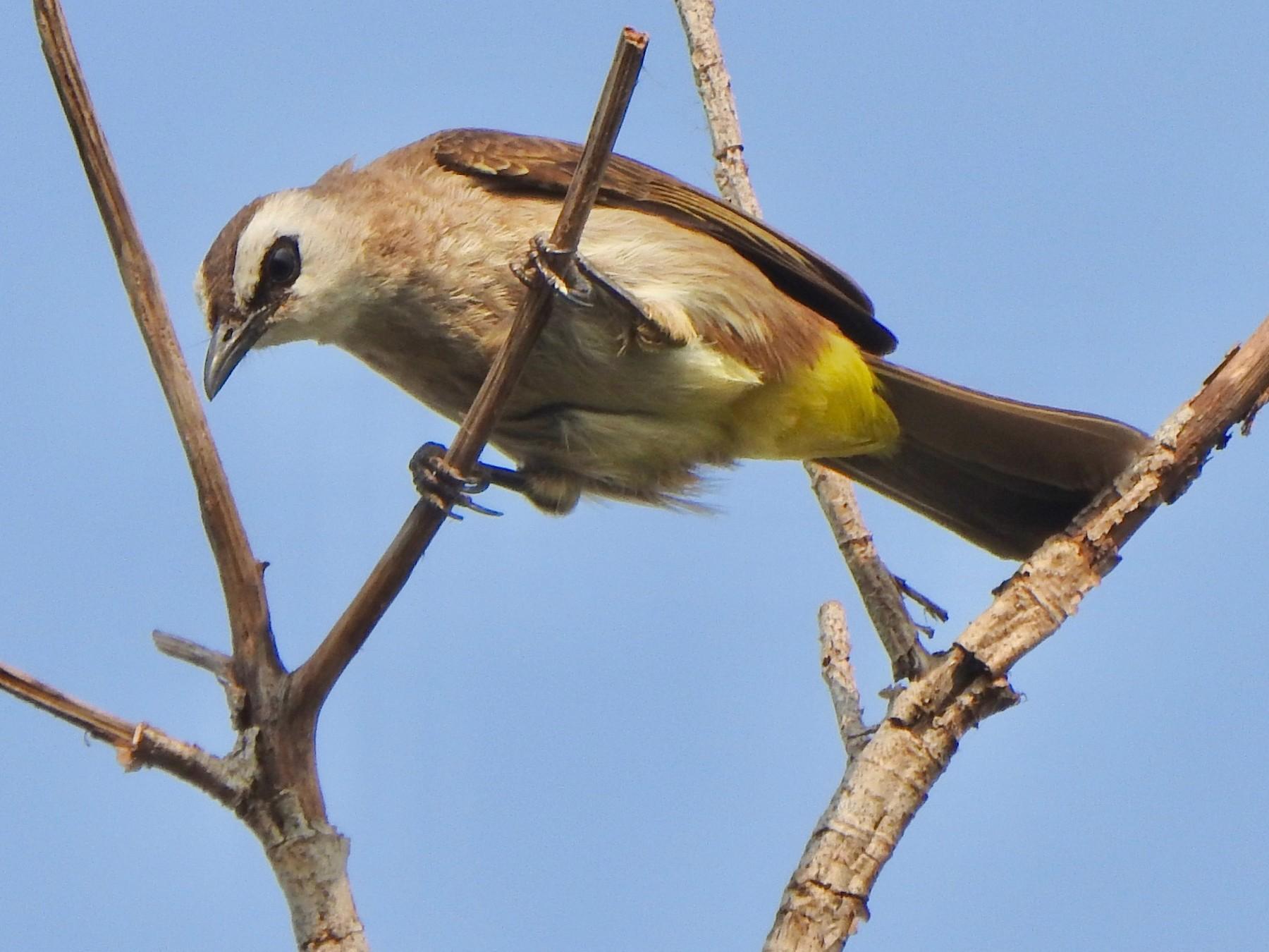 Yellow-vented Bulbul - Kalin Ocaña