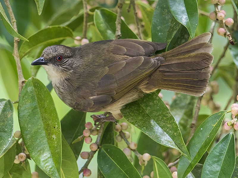 Olive-winged Bulbul - Matthew Kwan