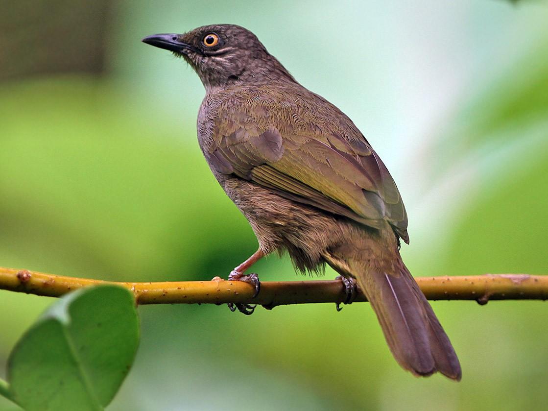 Olive-winged Bulbul - James Eaton