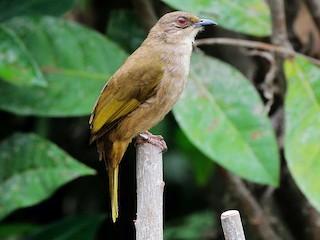 Olive Winged Bulbul Pycnonotus Plumosus Birds Of The World