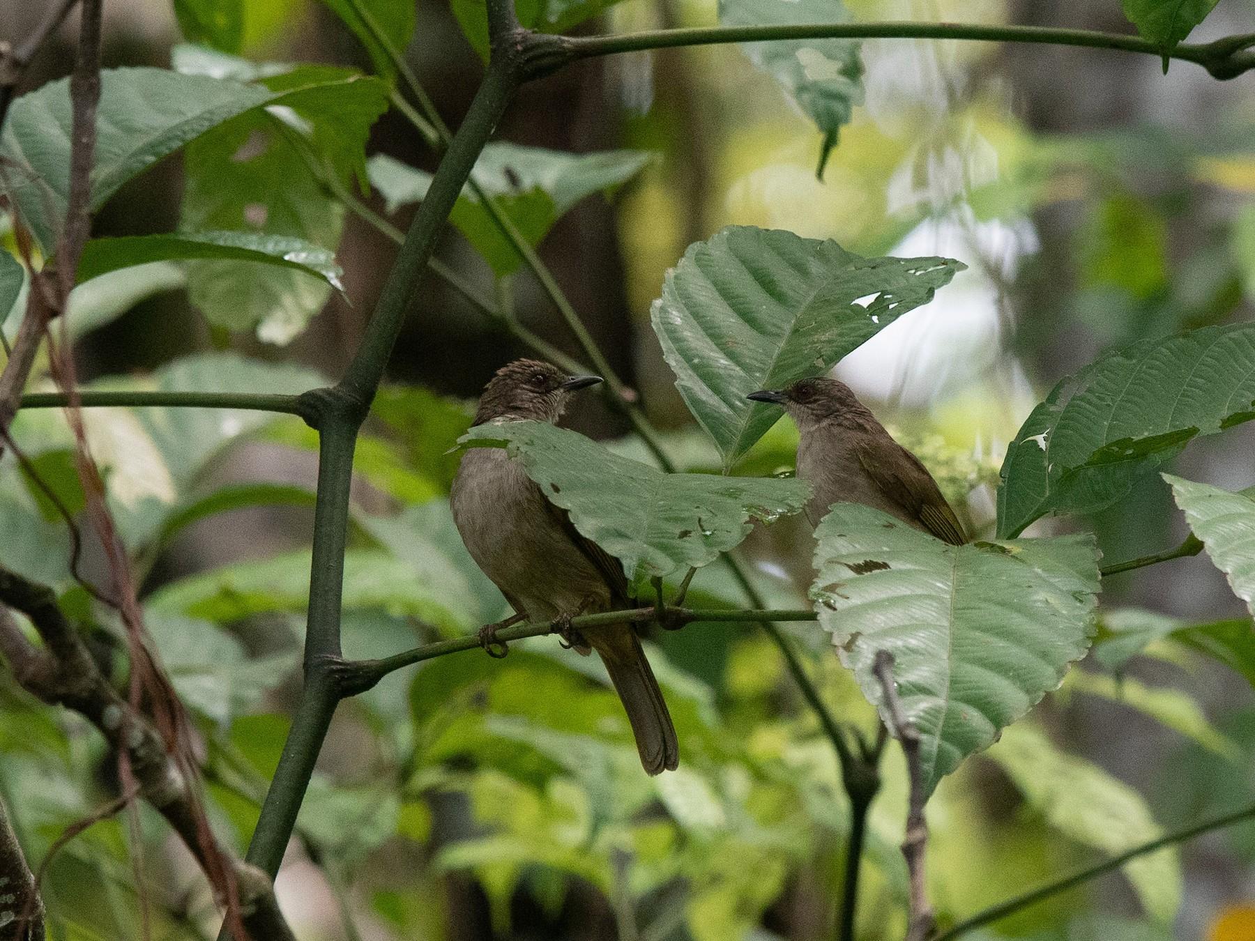 Olive-winged Bulbul - John Leszczynski