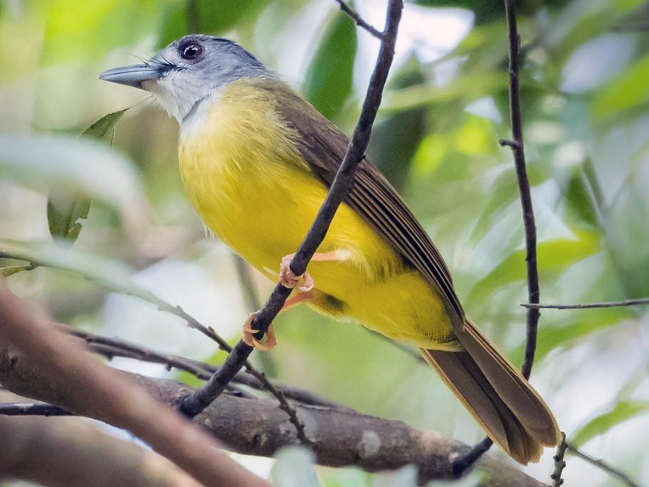 Yellow-bellied Bulbul - Leslie Loh