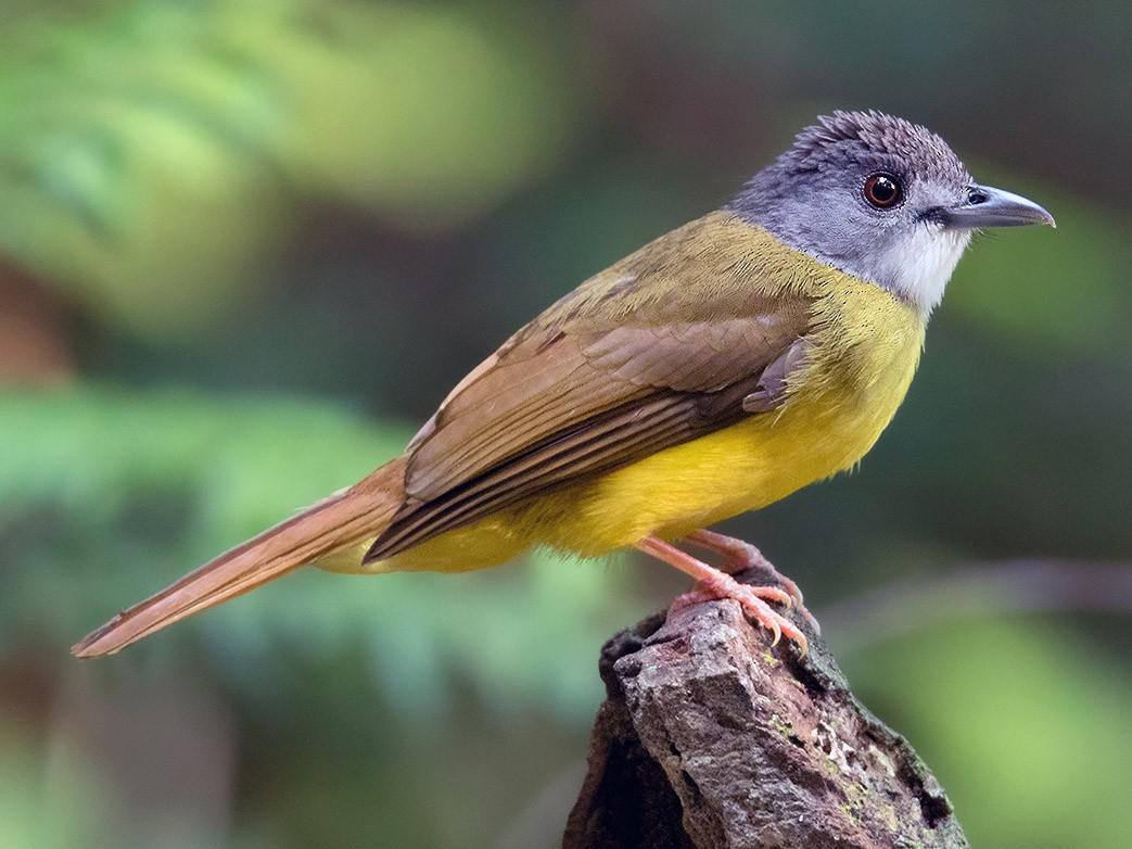 Yellow-bellied Bulbul - Ayuwat Jearwattanakanok