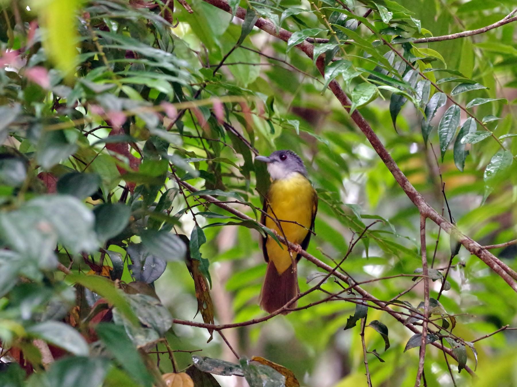 Yellow-bellied Bulbul - Thibaud Aronson