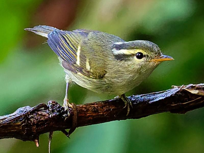 Davison's Leaf Warbler - Vincent Wang