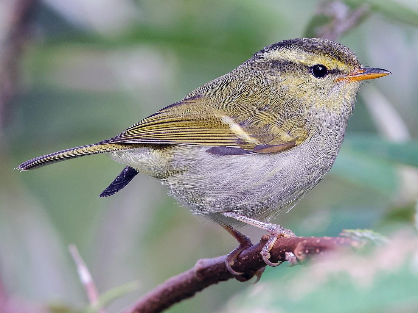 Davison's Leaf Warbler - Natthaphat Chotjuckdikul