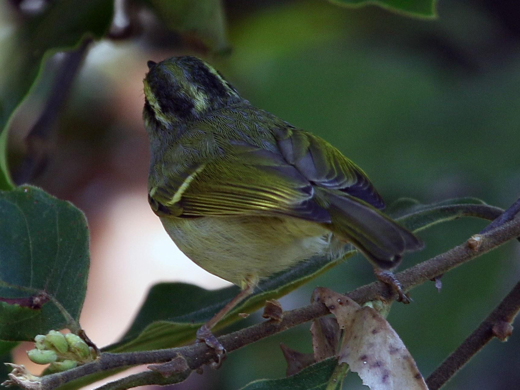 Davison's Leaf Warbler - Christoph Moning