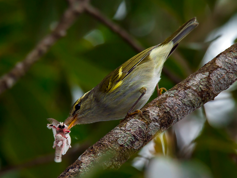 Davison's Leaf Warbler - Wich'yanan Limparungpatthanakij