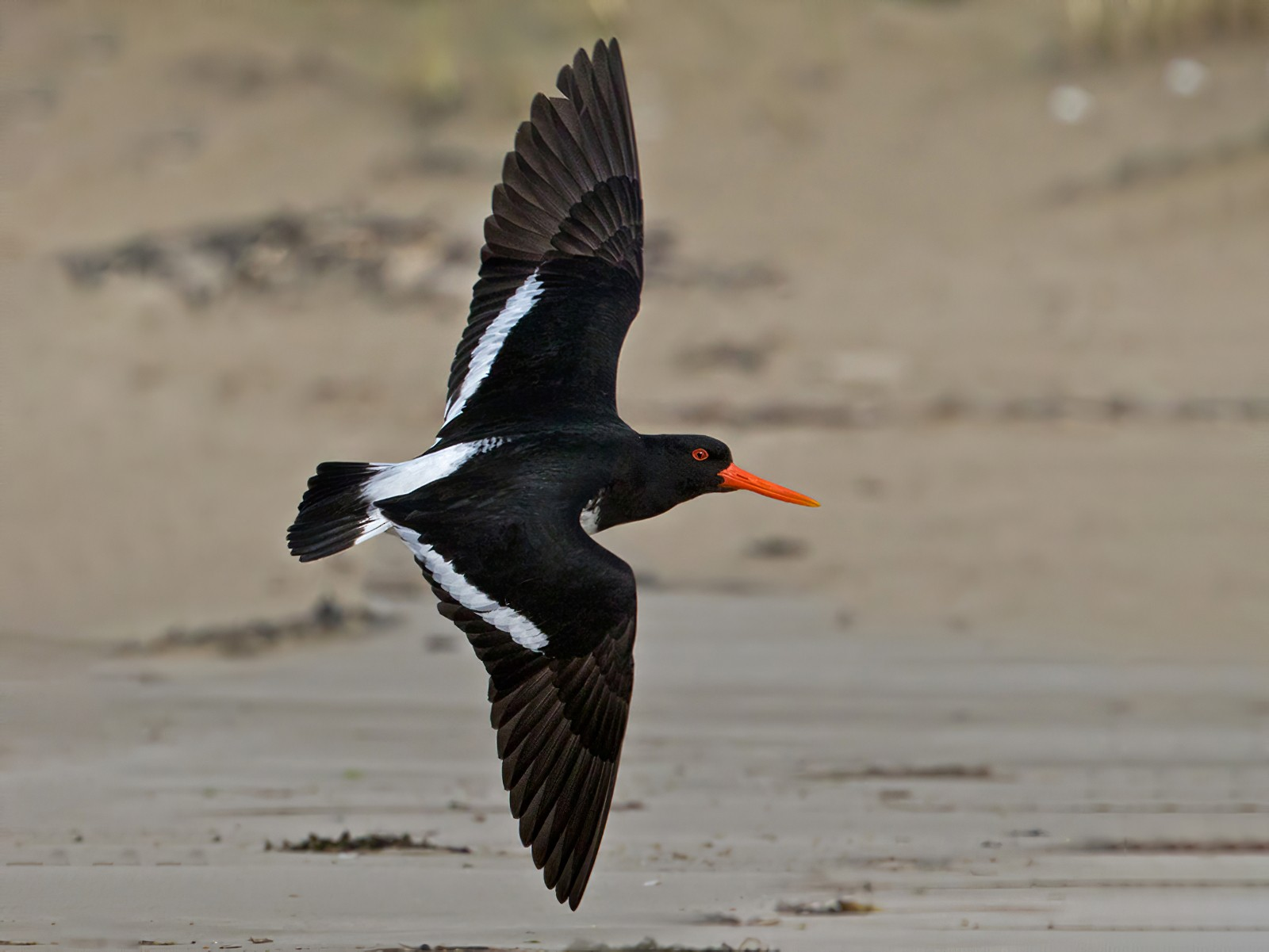 Chatham Oystercatcher - Lars Petersson