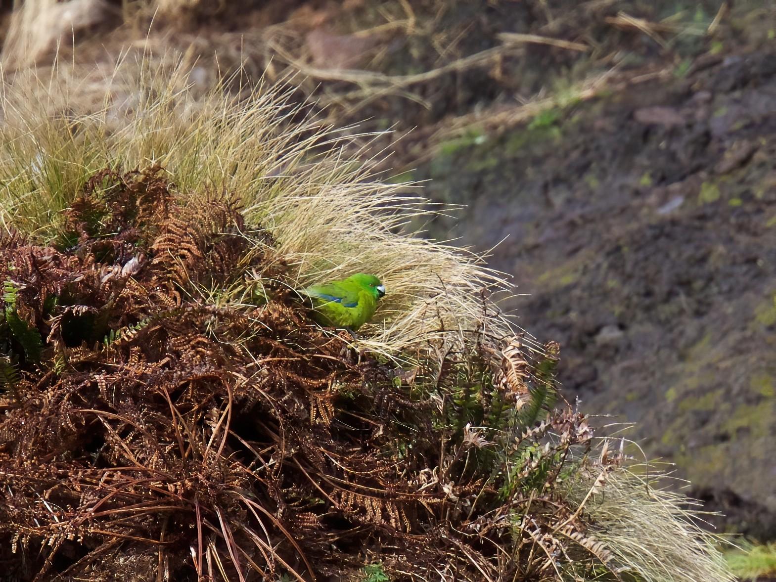 Antipodes Parakeet - Robert Tizard