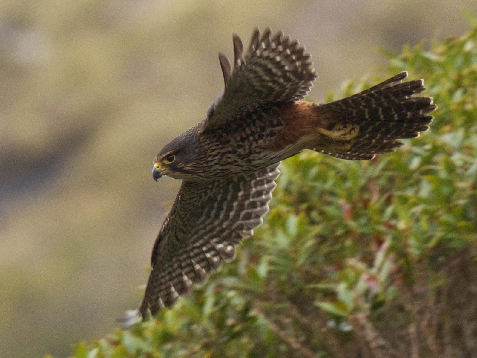 New Zealand Falcon - Robert Tizard