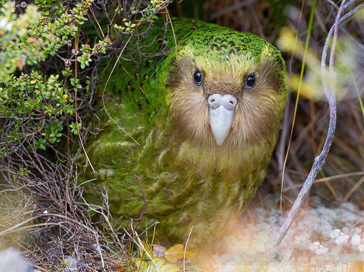 Kakapo - Brent Stephenson