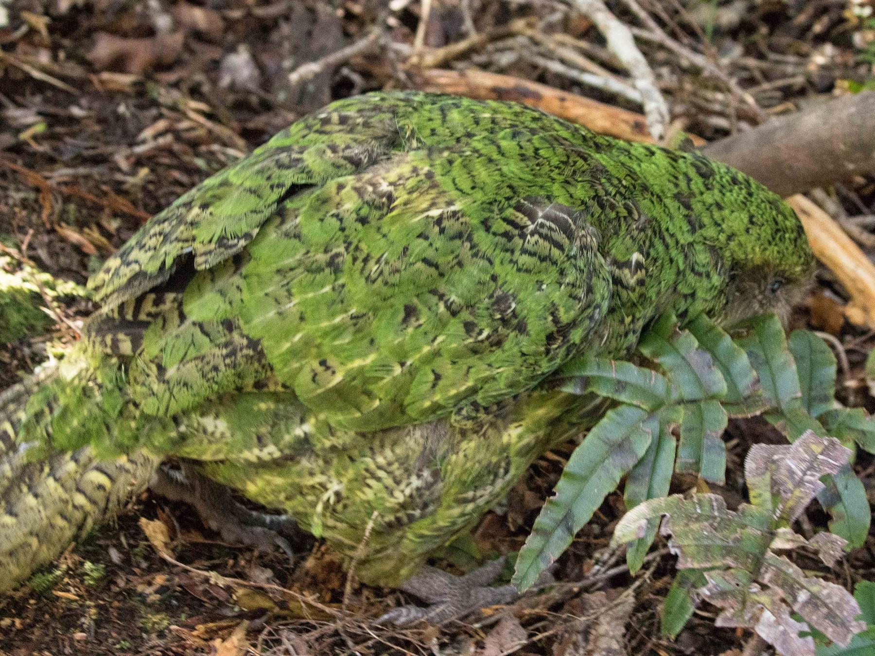 Kakapo - Eric VanderWerf