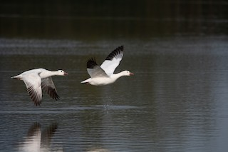 Snow Goose, ML223575301