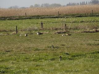 Egyptian Goose, ML223604571